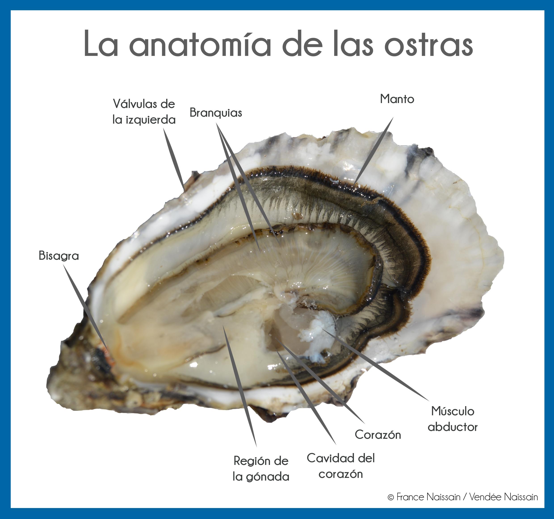 Anatomía de las ostras - France Naissain